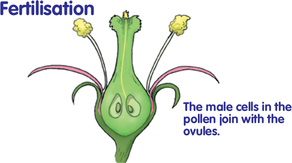 Mature Fertilised Plant Ovules