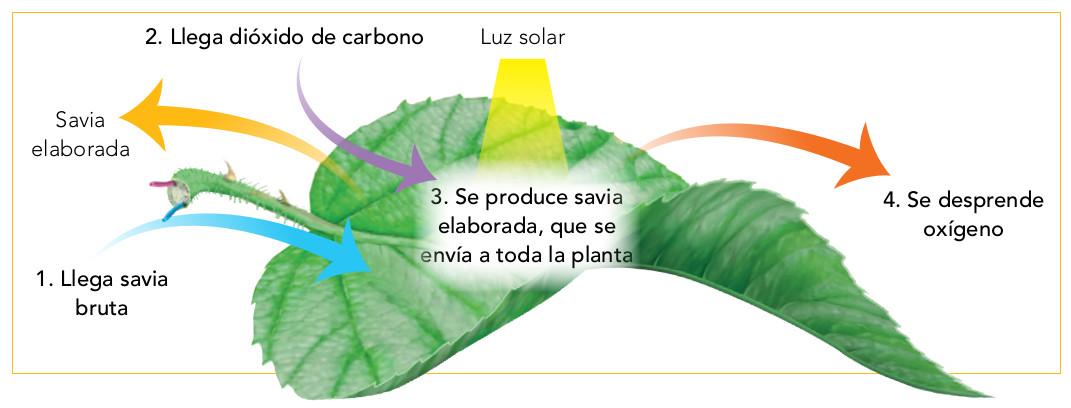 Resultado de imagen de fotosintesis hoja