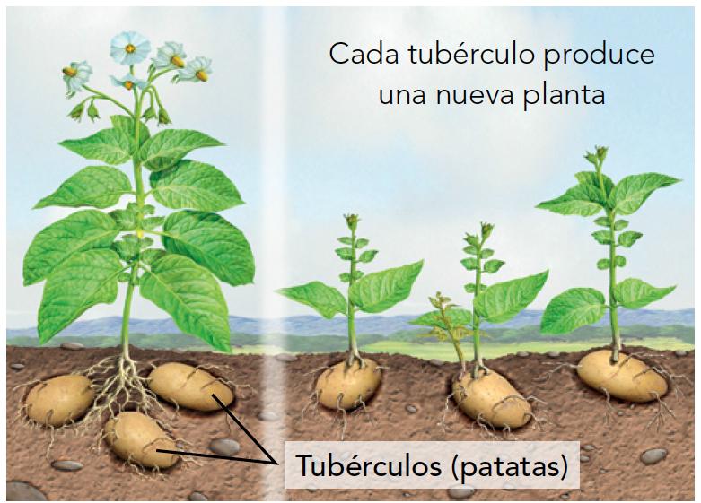 Tipos de reproduccion asexual en plantas ejemplos de prefijos