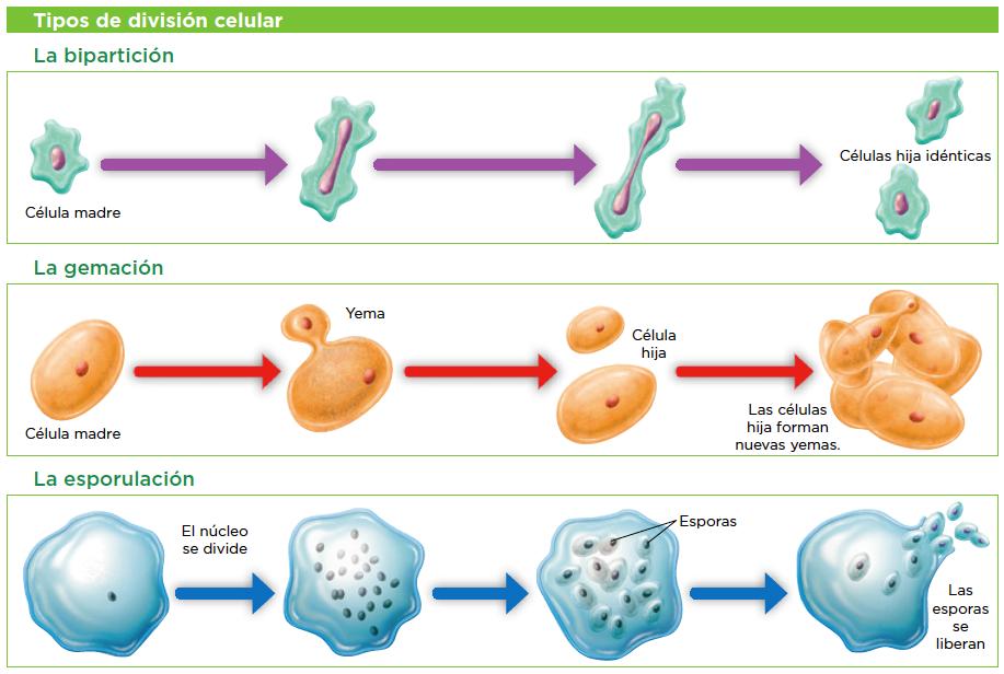 celulas especializadas para la reproduccion asexual in Waterloo