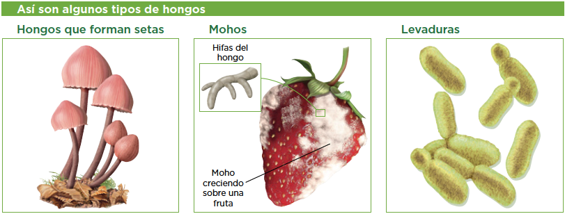 2 moneras protoctistas y hongos biolog a y geolog a 1 - El moho es un hongo ...