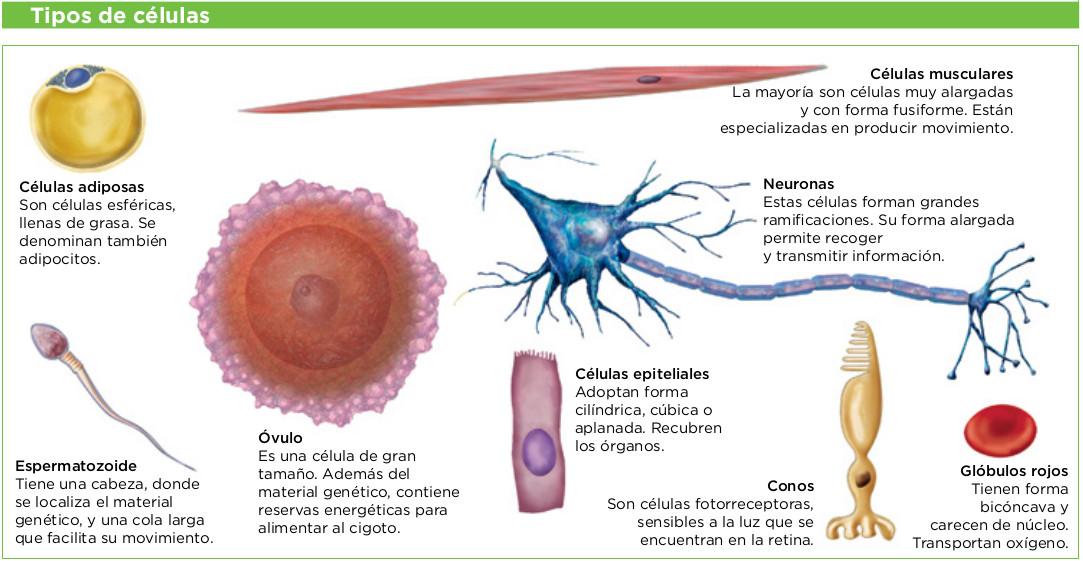 1 La organizacin del cuerpo humano  Biologa y Geologa 3 ESO