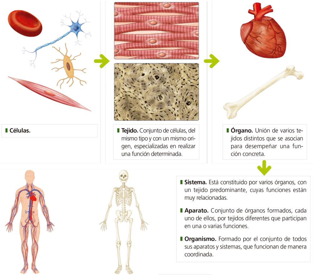 Magnífico Diagrama De órganos Vitales Humana Elaboración - Imágenes ...