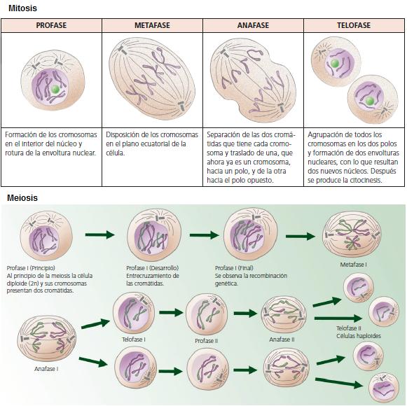 Bsicas 6 Tipos de divisin celular  Biologia y Geologia 4